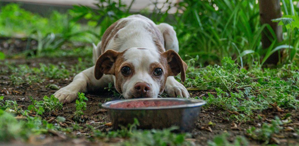 Kleiner Hund wartet vor seinem Futternapf, gefüllt mit Rohfutter, auf die Freigabe zum fressen.